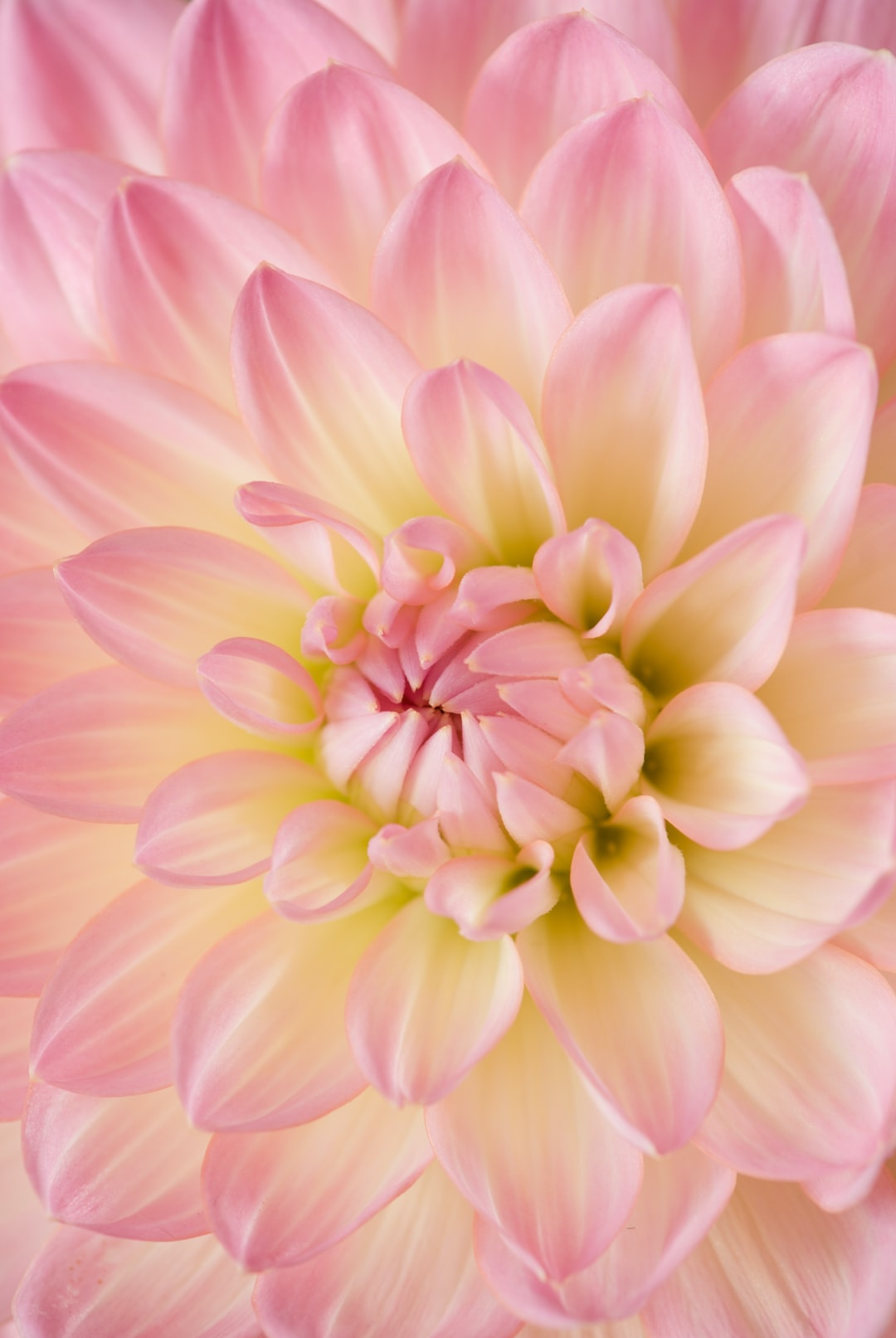 Taking close up macro photographs of flowers have always been a passion of mine. This radiant dahlia has the perfect array of light pink petals.