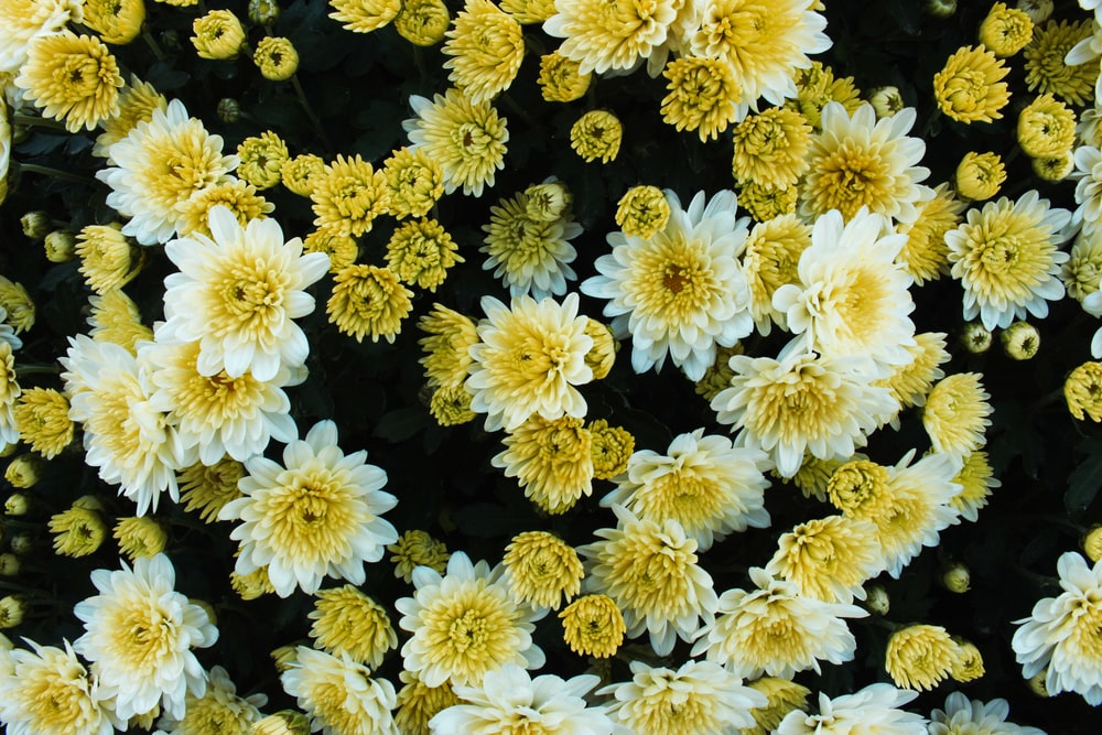 view of white and yellow chrysanthemums