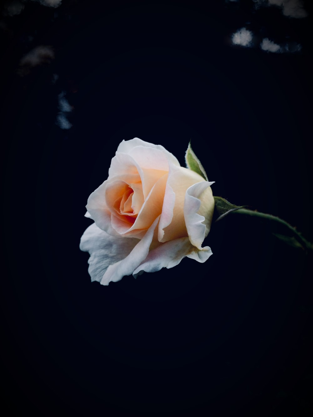 shallow focus photo of white rose