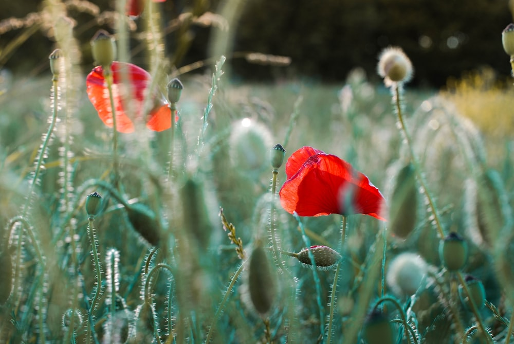 selective focus photography of several common poppy flowers