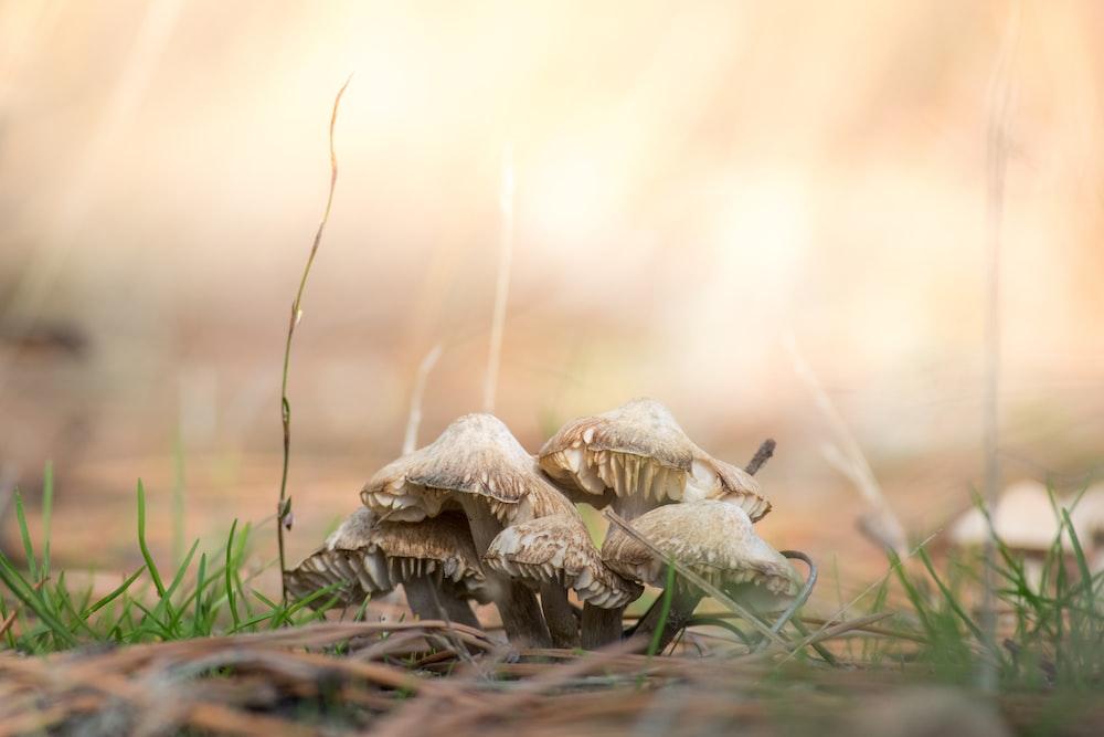 brown mushrooms on ground