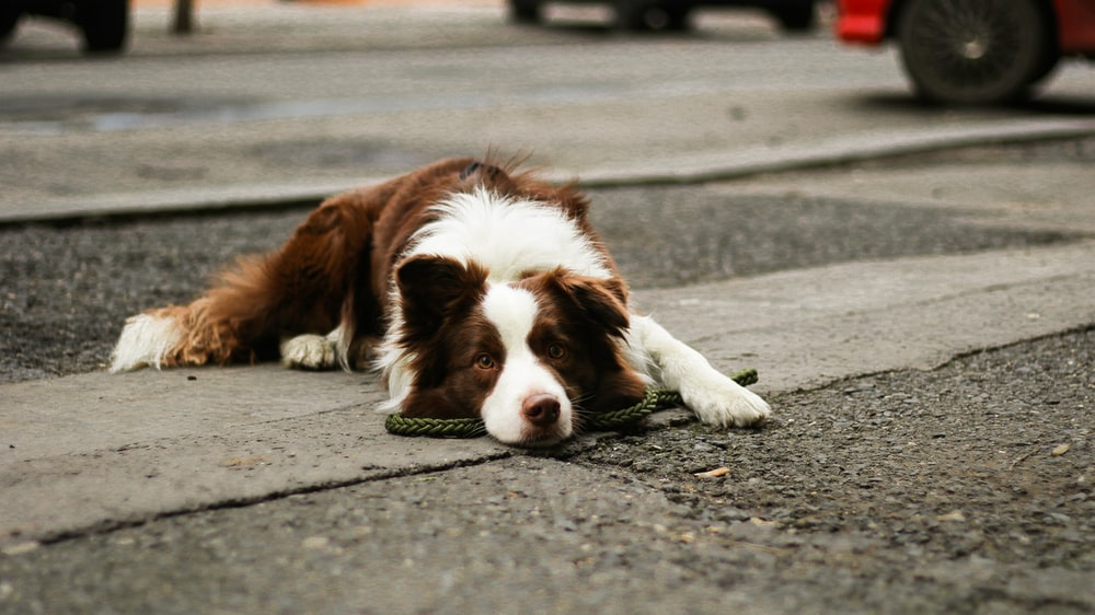short-coated brown and white dog lying on concrete surface