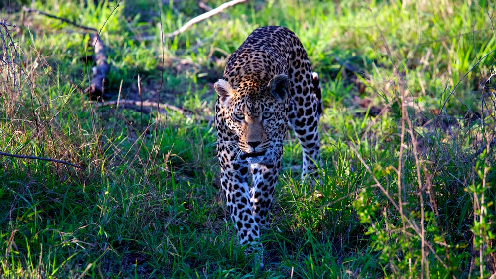 leopard walking on grass field during daytime