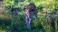 leopard walking on grass field during daytime