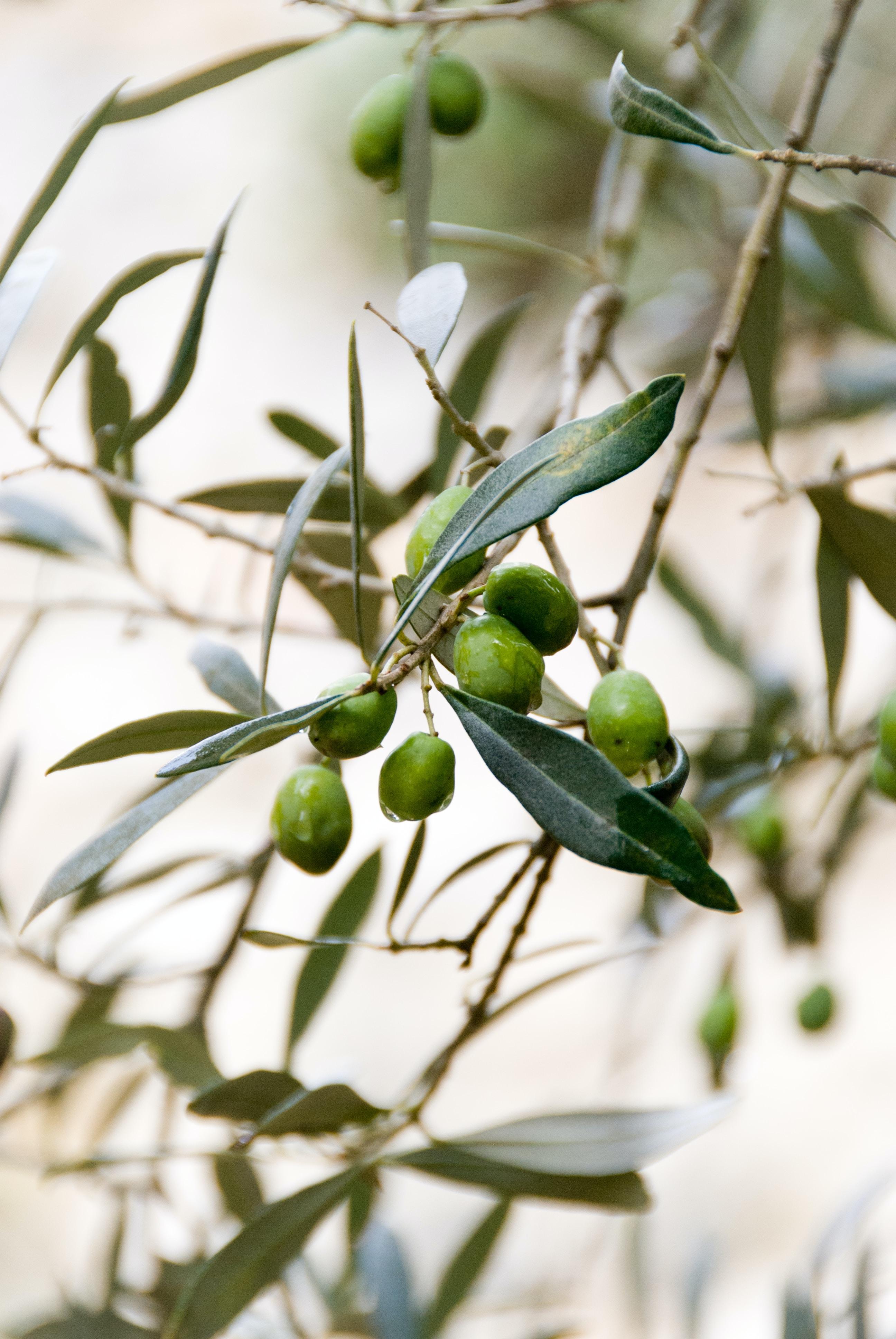 macro photography of olive fruits