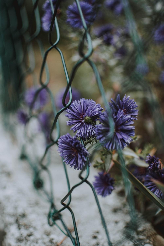 purple aster flowers beside chain link fence