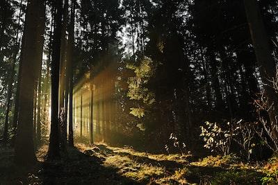 sun rays piercing through trees
