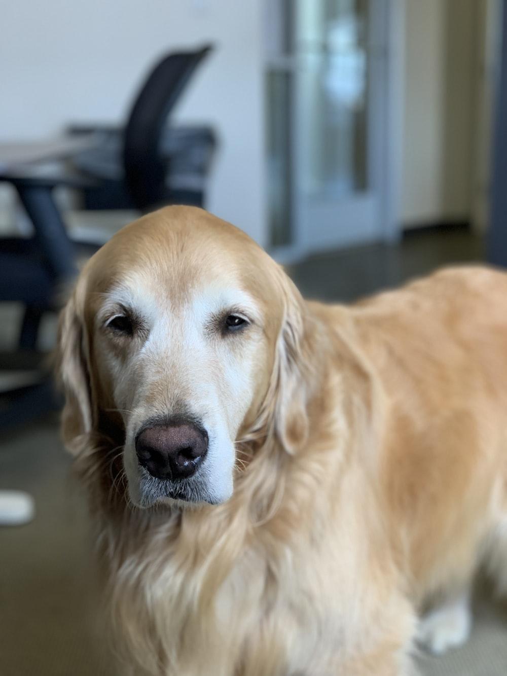 short-coated tan dog near chair