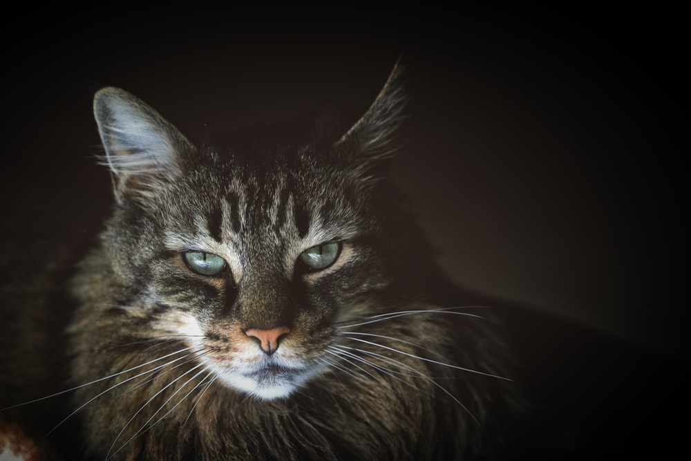 close-up photo of brown Maine coon cat