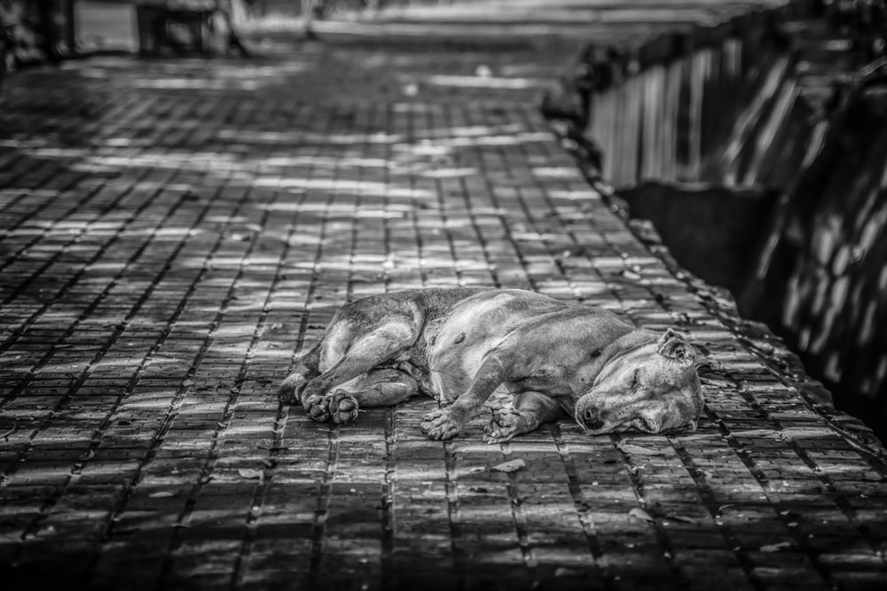 grayscale photo of short-coated dog lying on road