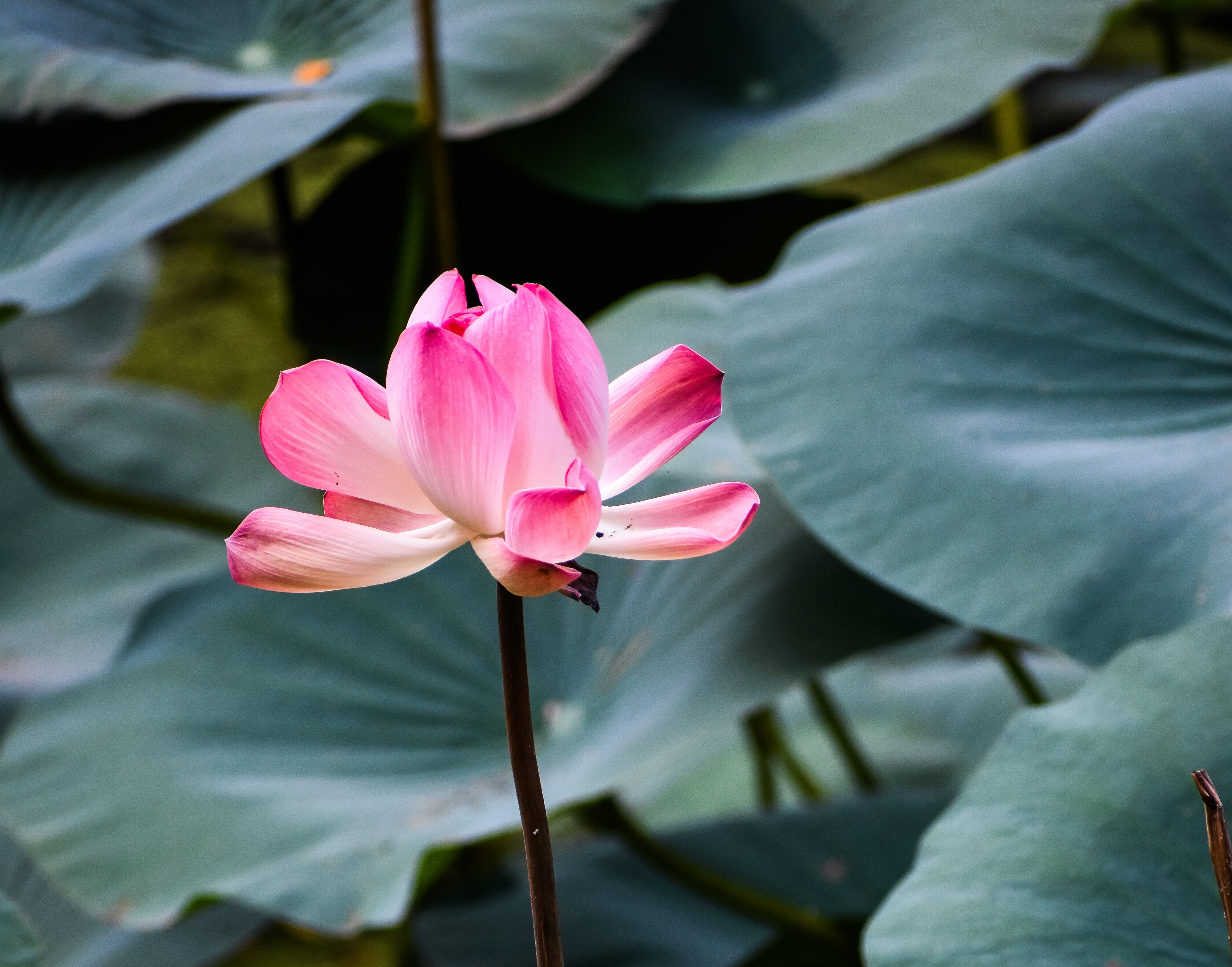 selective focus photography of pink lotus flower in bloom