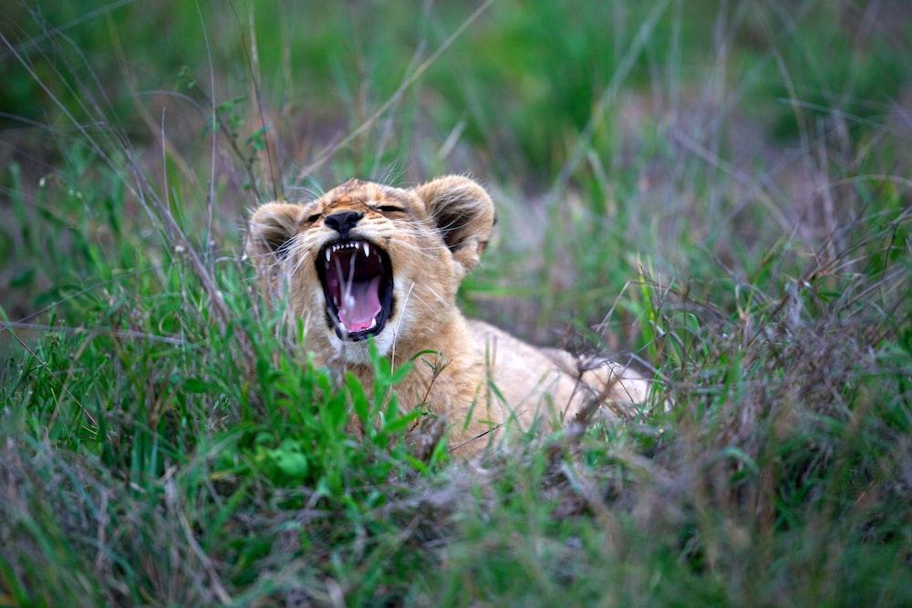 brown tiger cub on green field