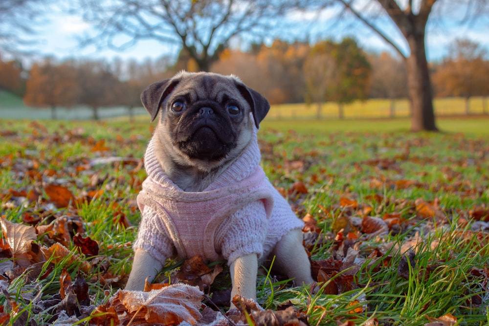 pug with pink suit on grass