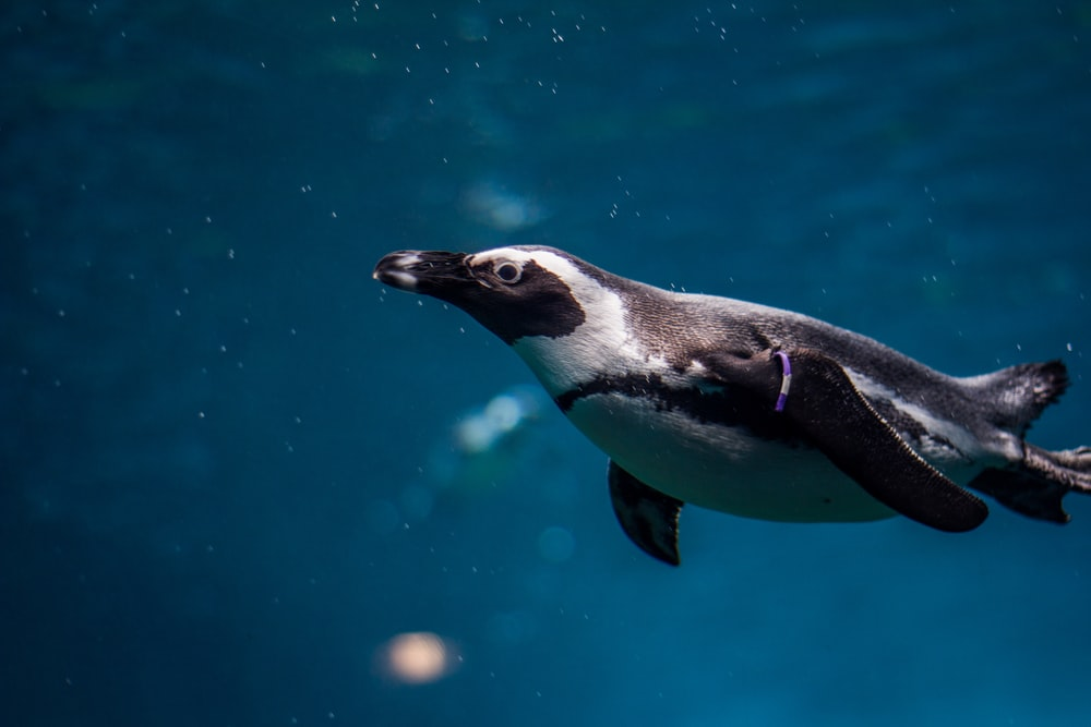 black and white penguin in underwater photography