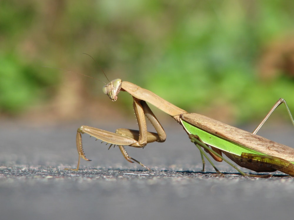brown and grey praying mantis on concrete surface