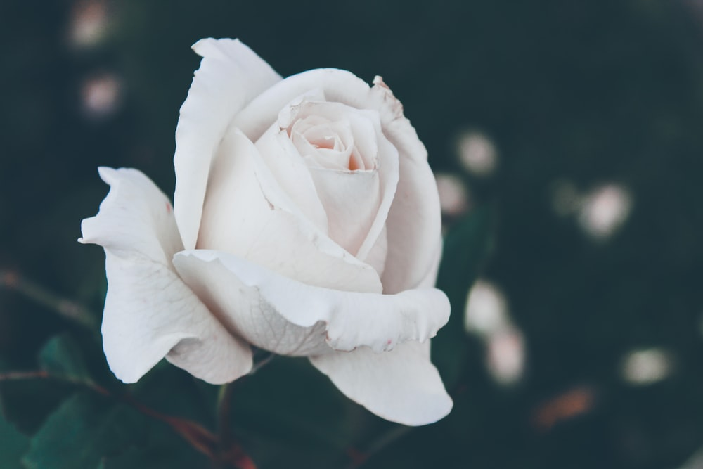 500 white rose pictures hd download free images on unsplash 3 mightylinksfo