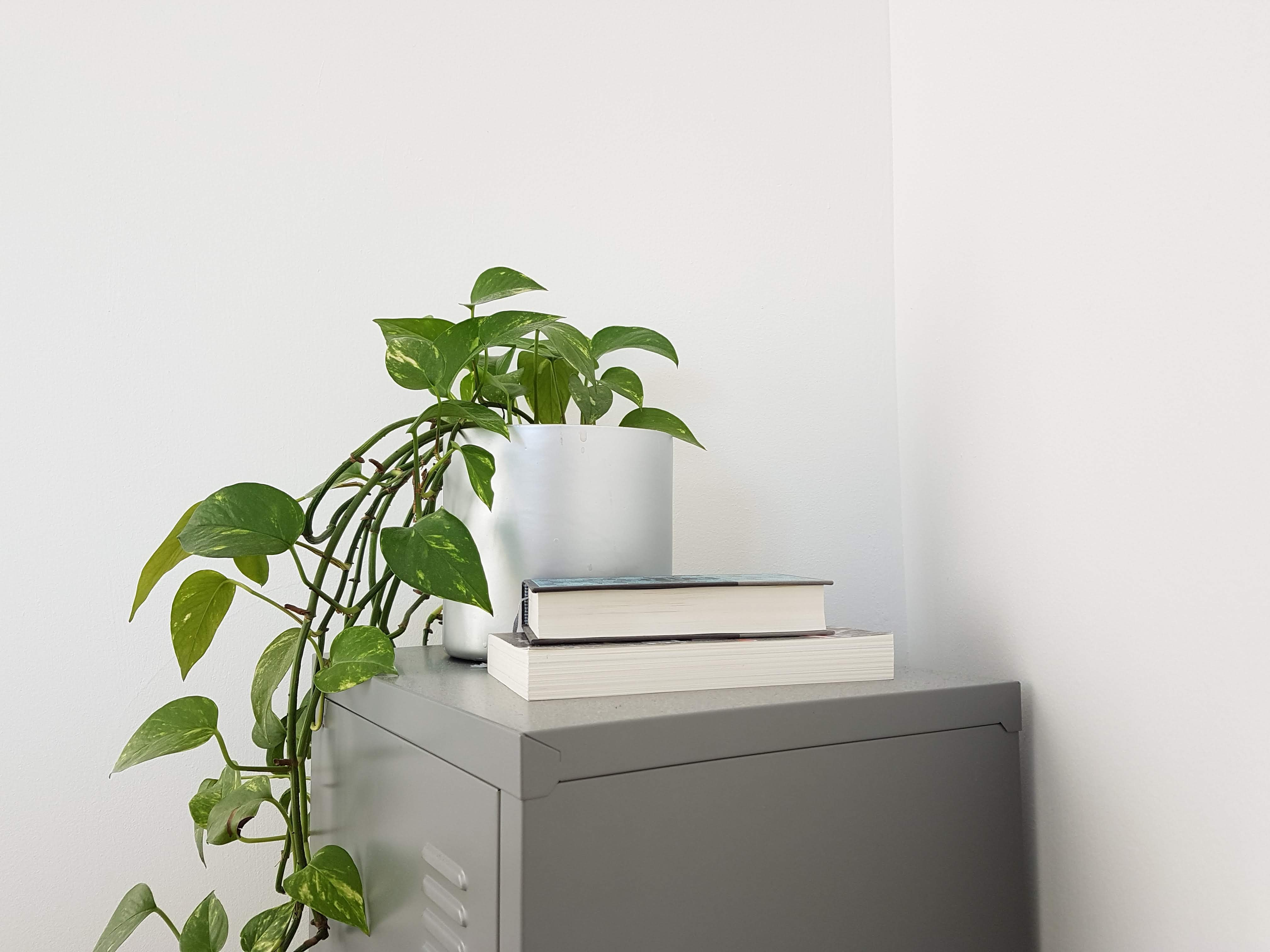 green ivy plant on white pot near two books on table