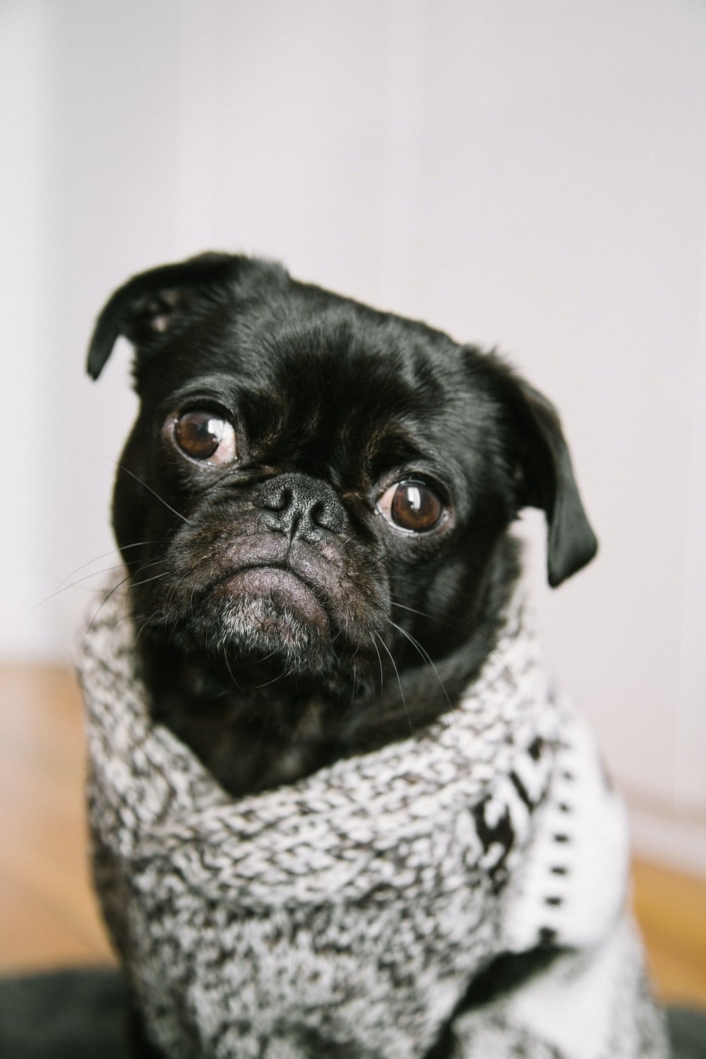 shallow focus photography of black pug