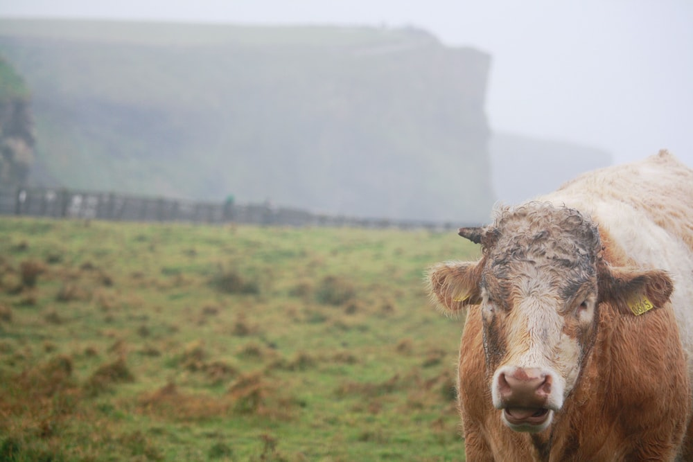 brown cattle in green gass