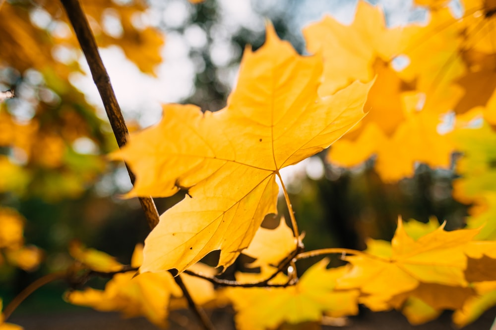 yellow maple leaf on branch