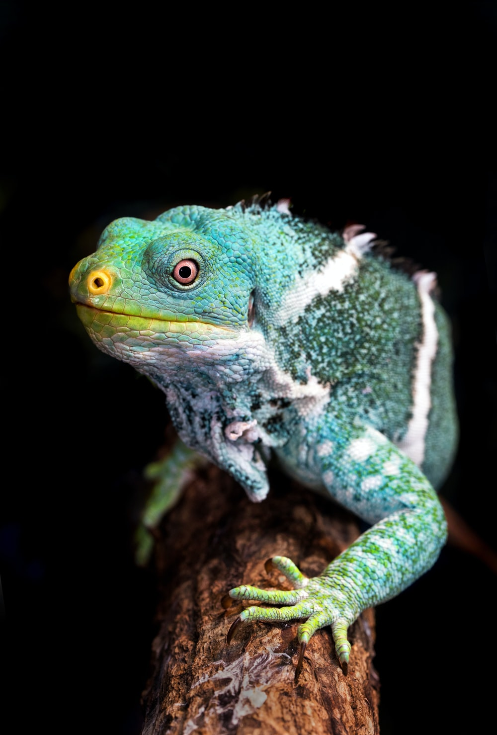 green and white iguana on tree branch closeup photography