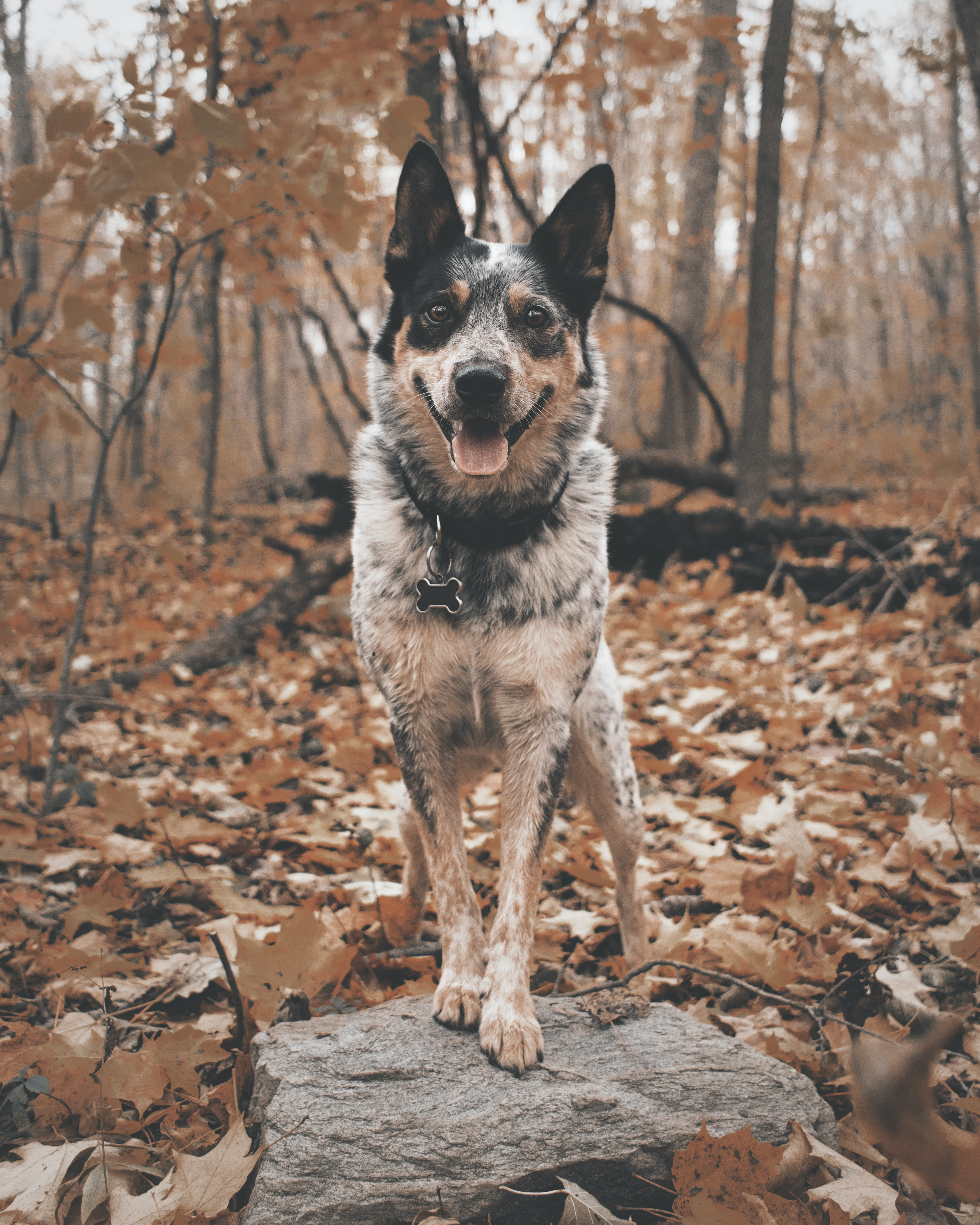 adult Australian cattle dog stepping on gray rock selective focus photography