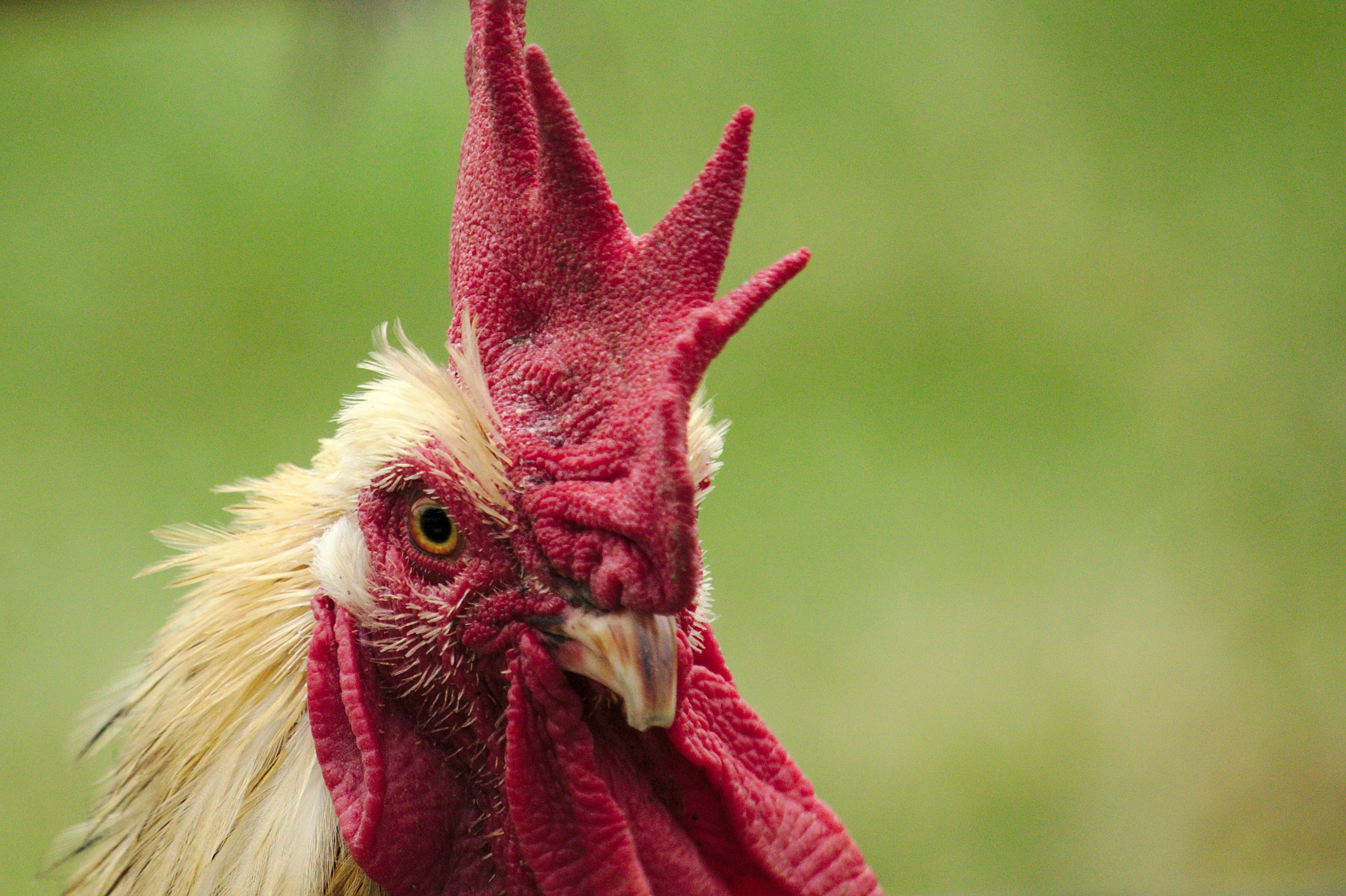 shallow focus photography of rooster