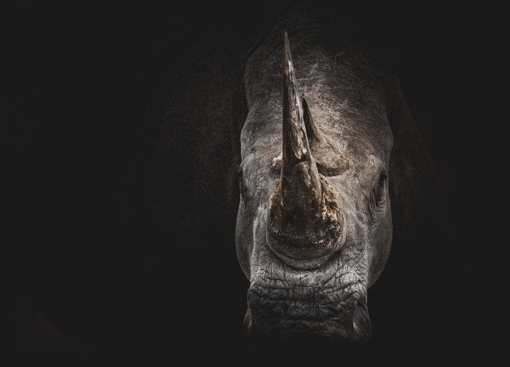 gray rhino digital wallpaper