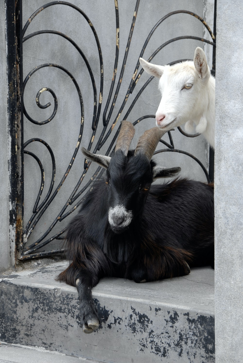 a black and a white goat in gated entry