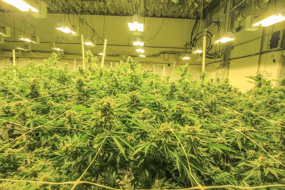 这家公司种大麻,风投追着入股