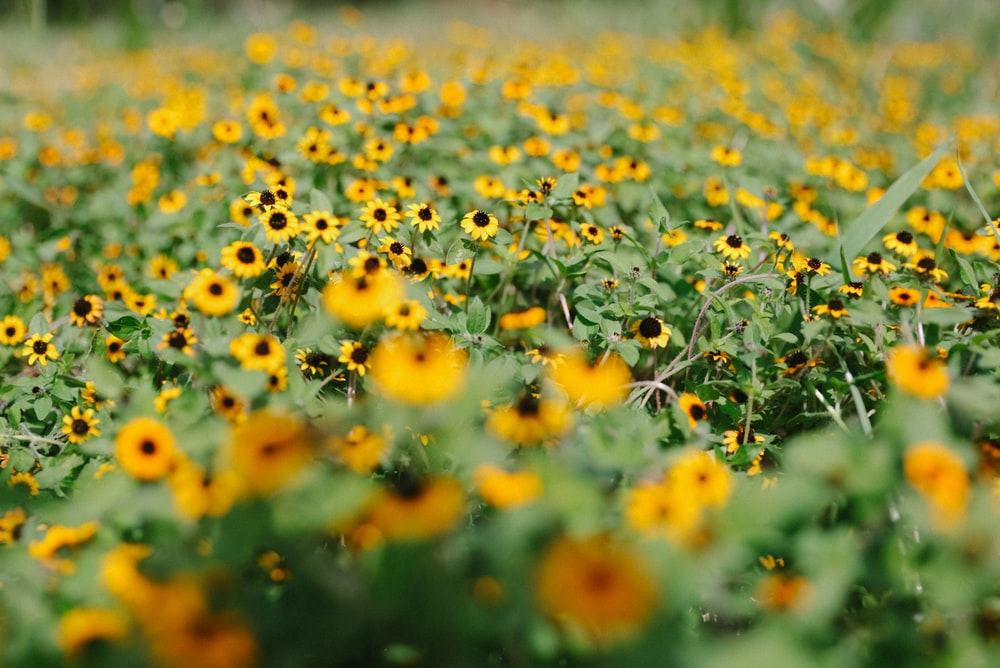 yellow sunflower plant lot