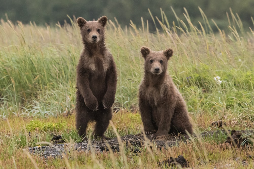 two gray bears in green lawn grasses