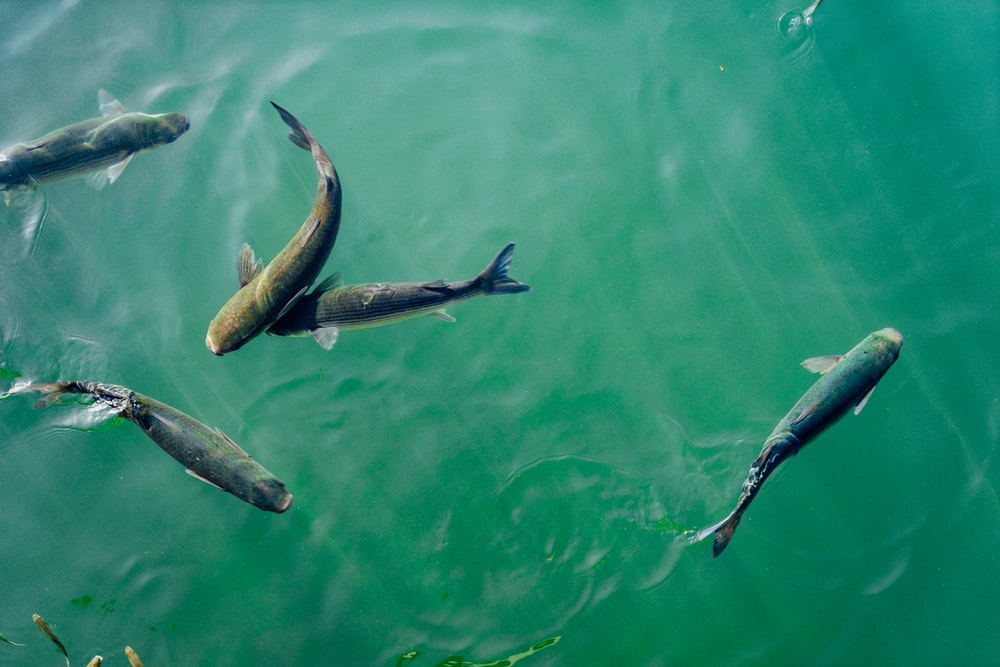 five black fish in body of water
