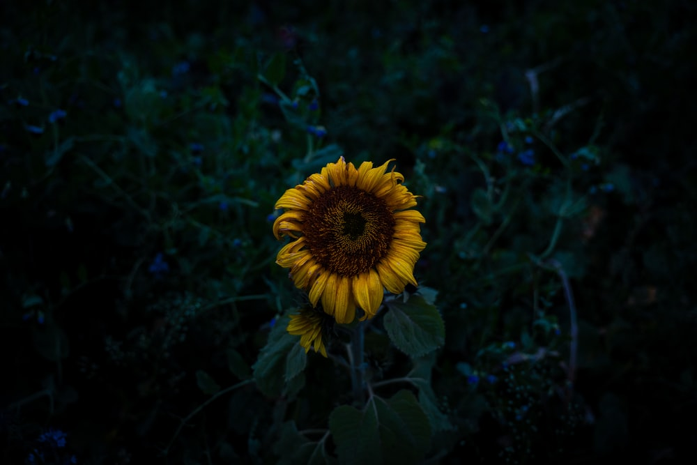 yellow sunflower overlooking leaves