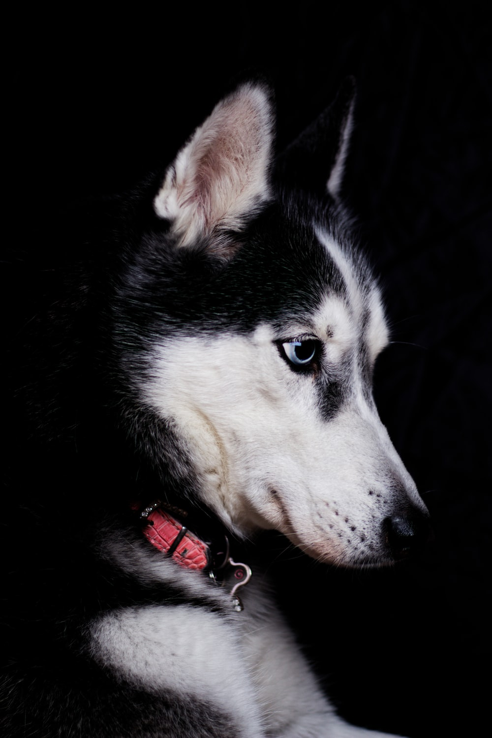 close-up photography of black and white Siberian husky