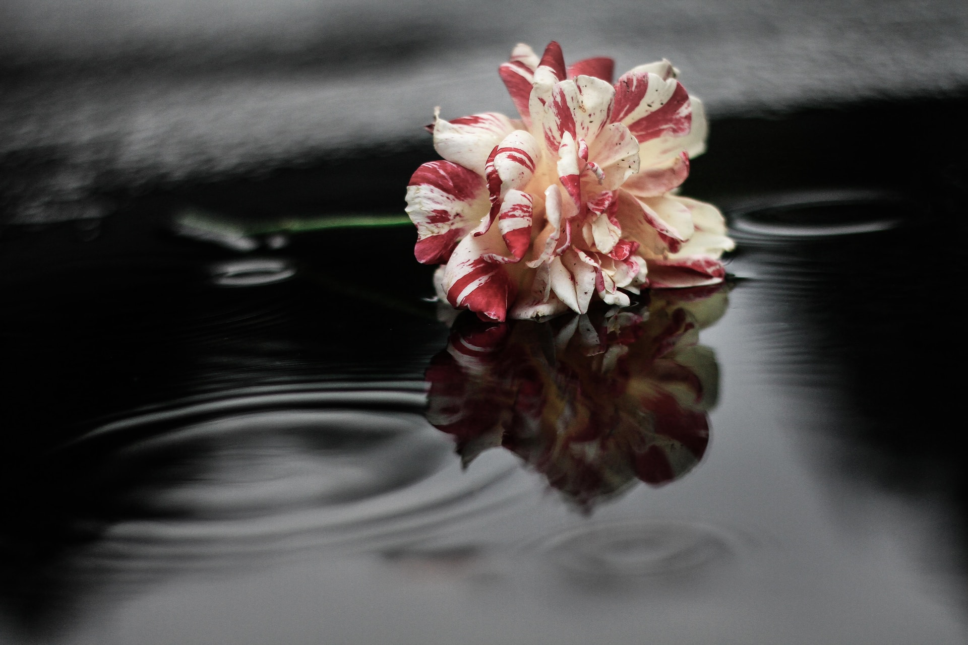 white and red flower on water