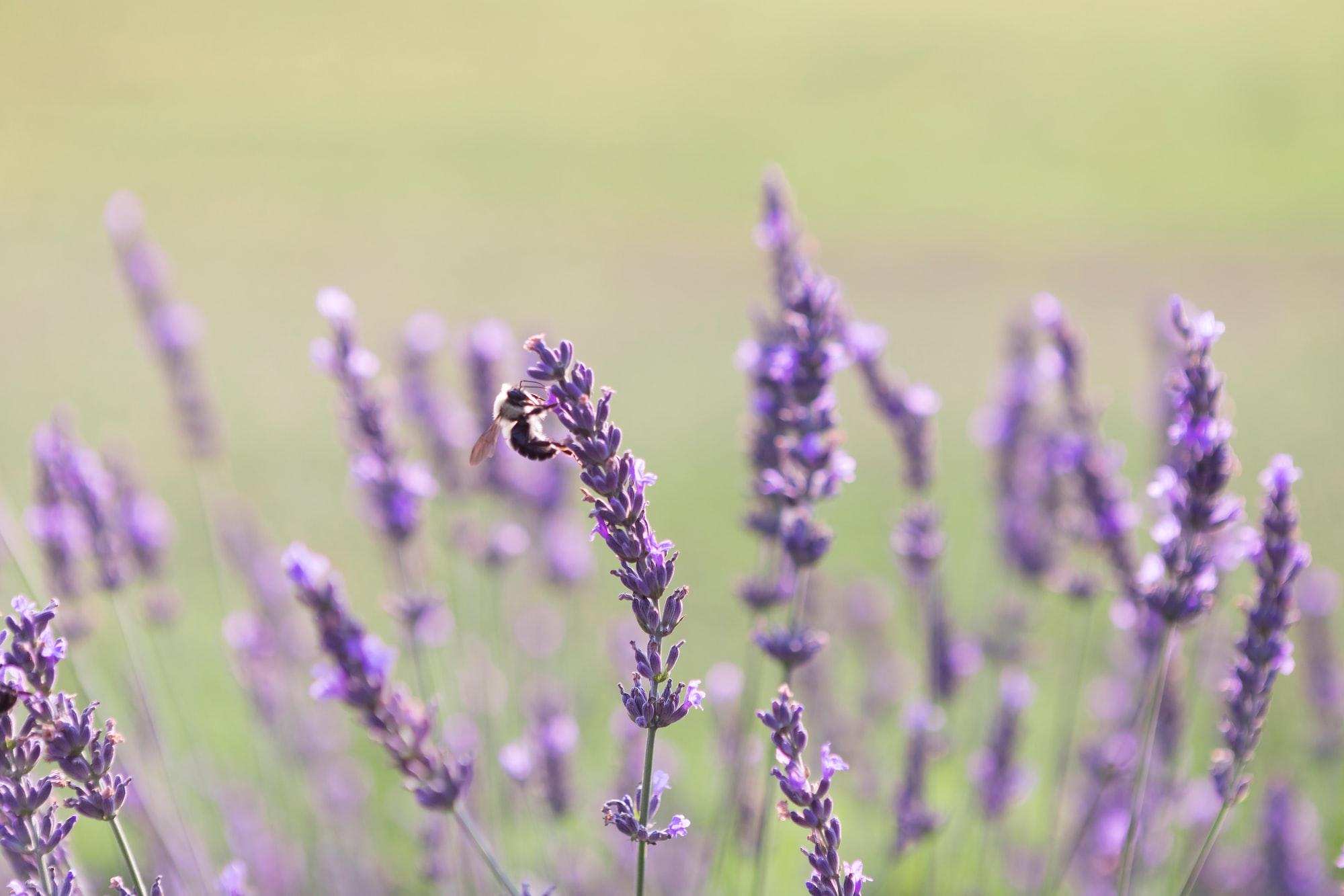 A honey bee pollinating a purple lavender flower | Check out my blog: matthewtrader.com/unsplash