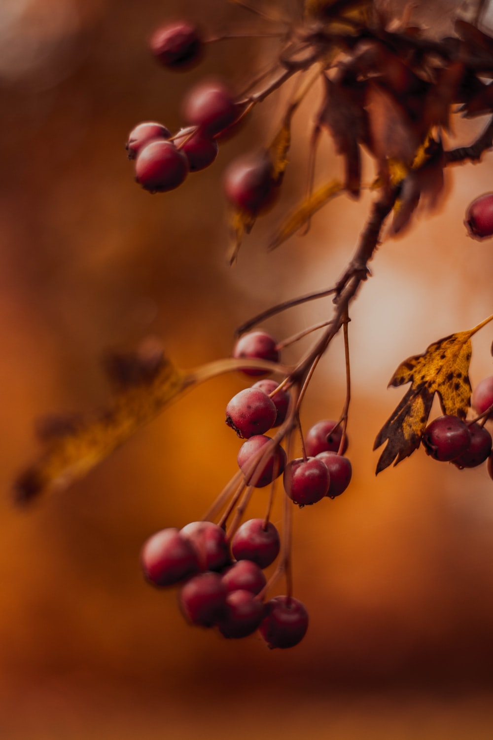close-up photography of red cherries
