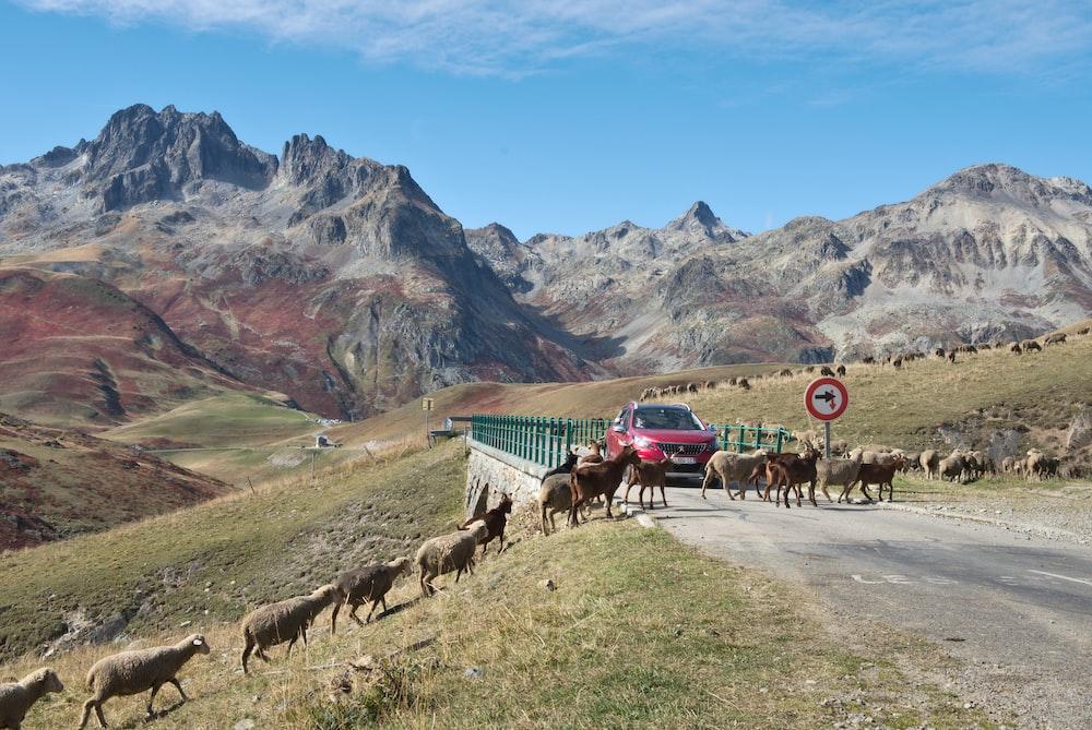sheeps crossing road near red SUV