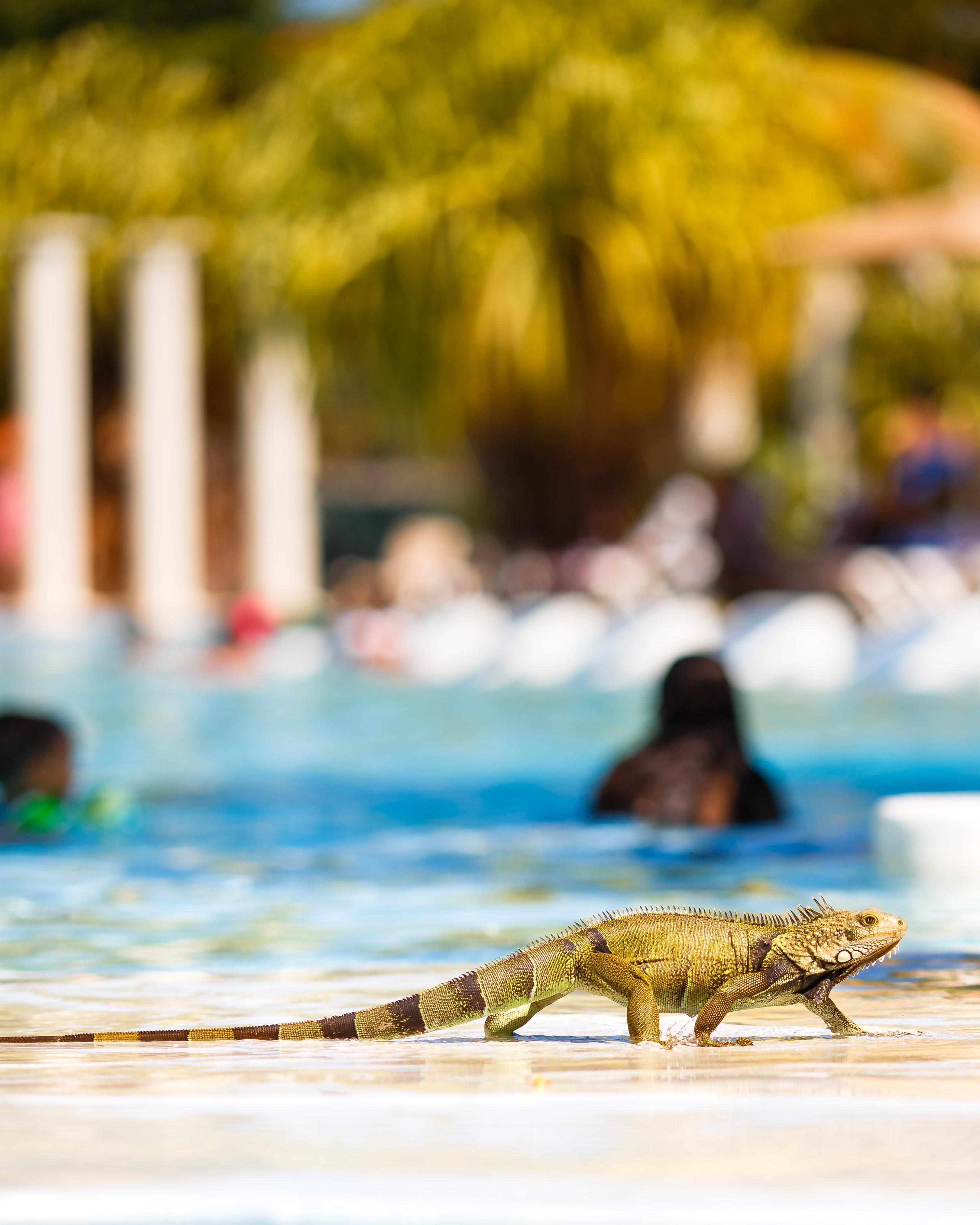 selective-focus photography of iguana near swimming pool