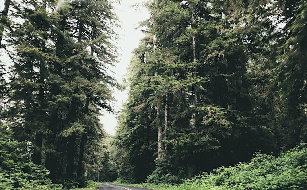 gray asphalt road between tall trees