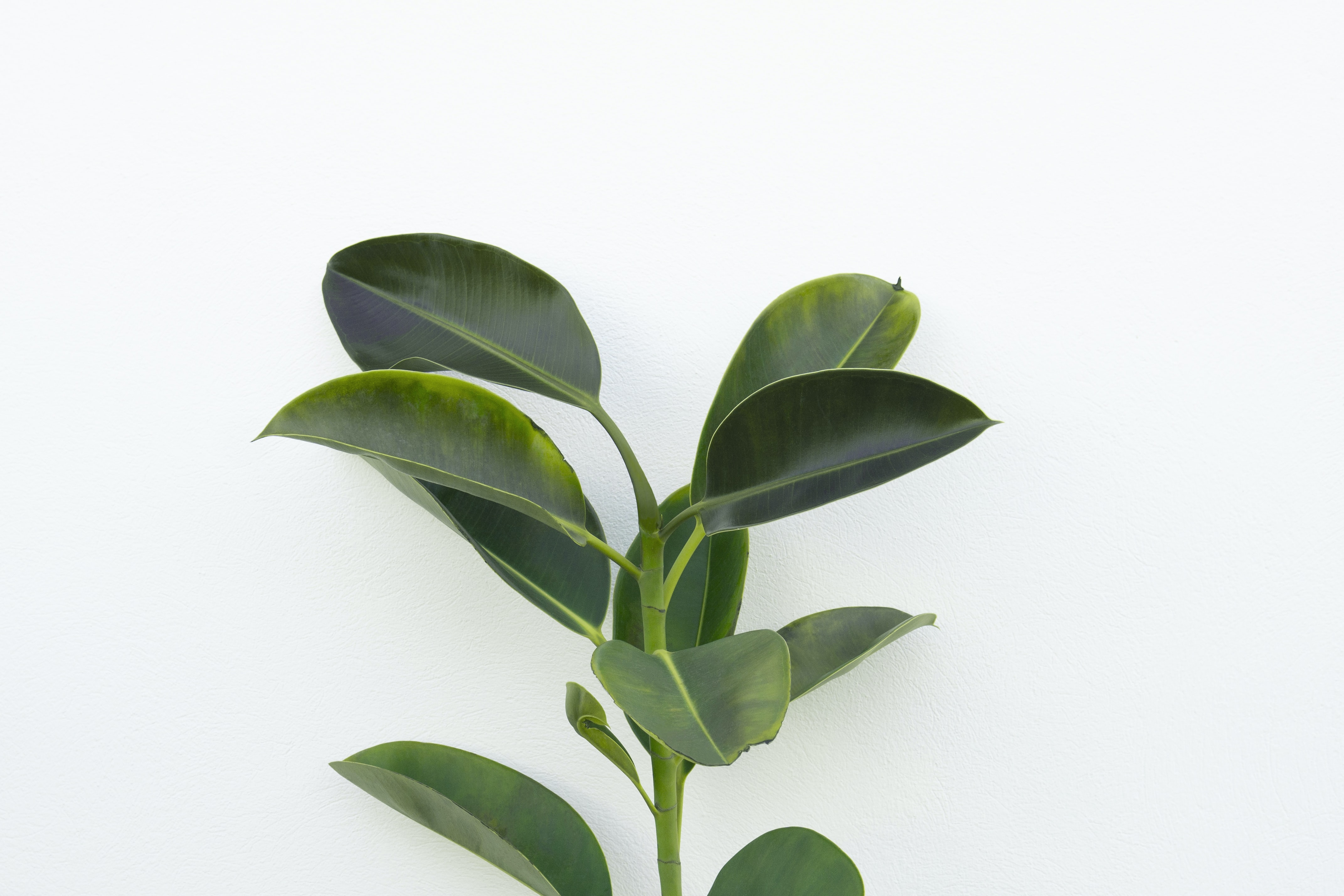 close-up photography of green rubber plant