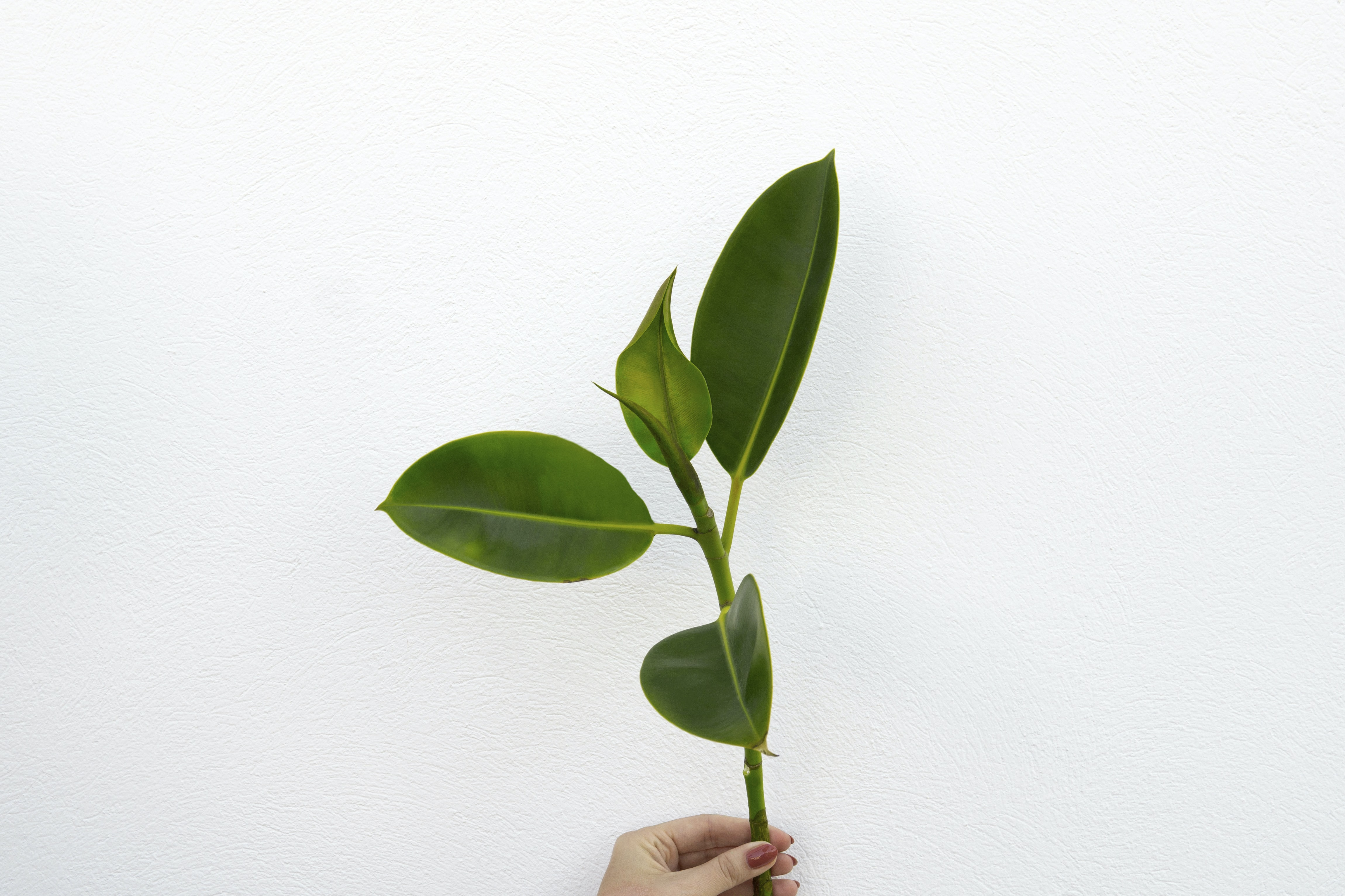 rubber fig plant