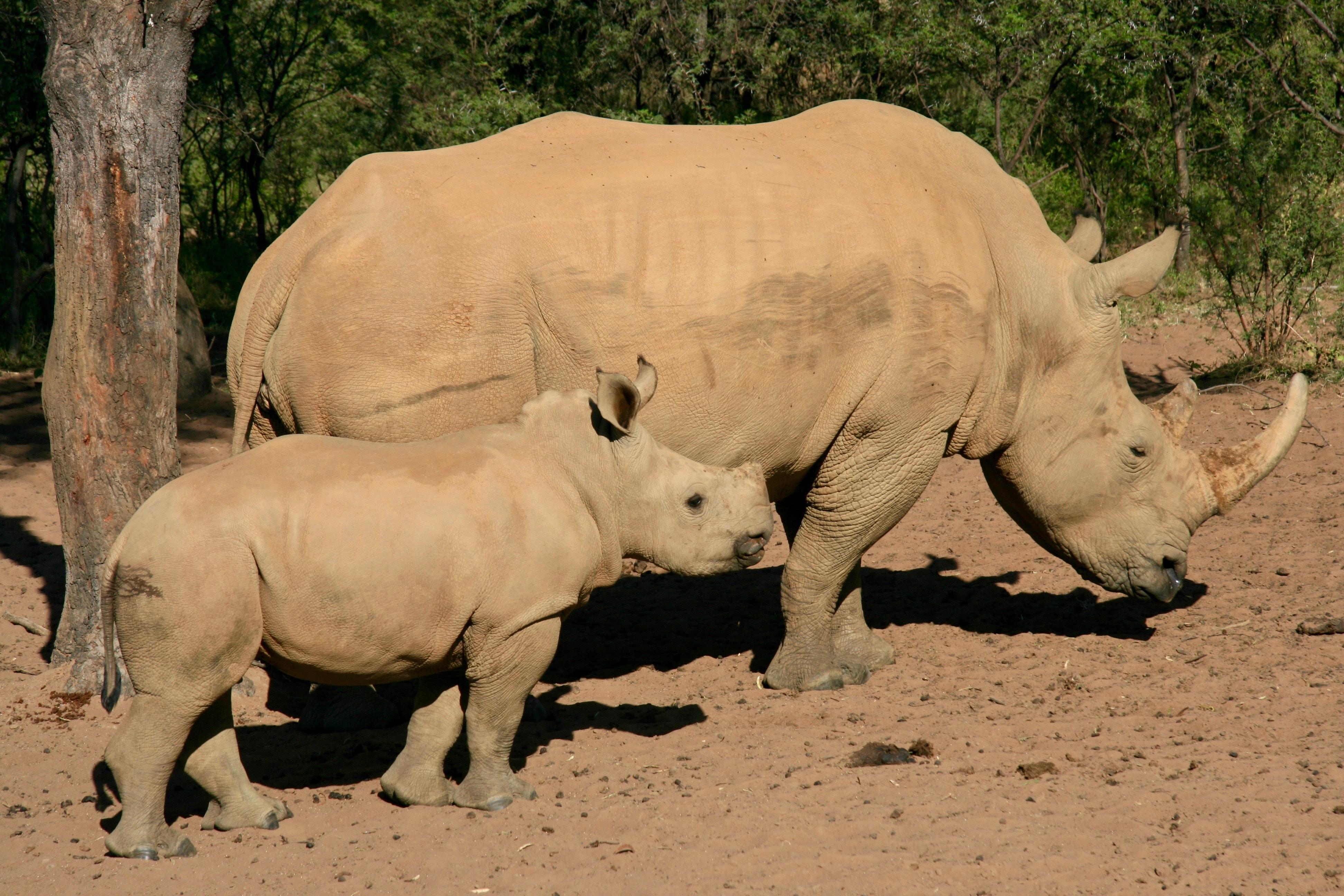 two gray rhinos