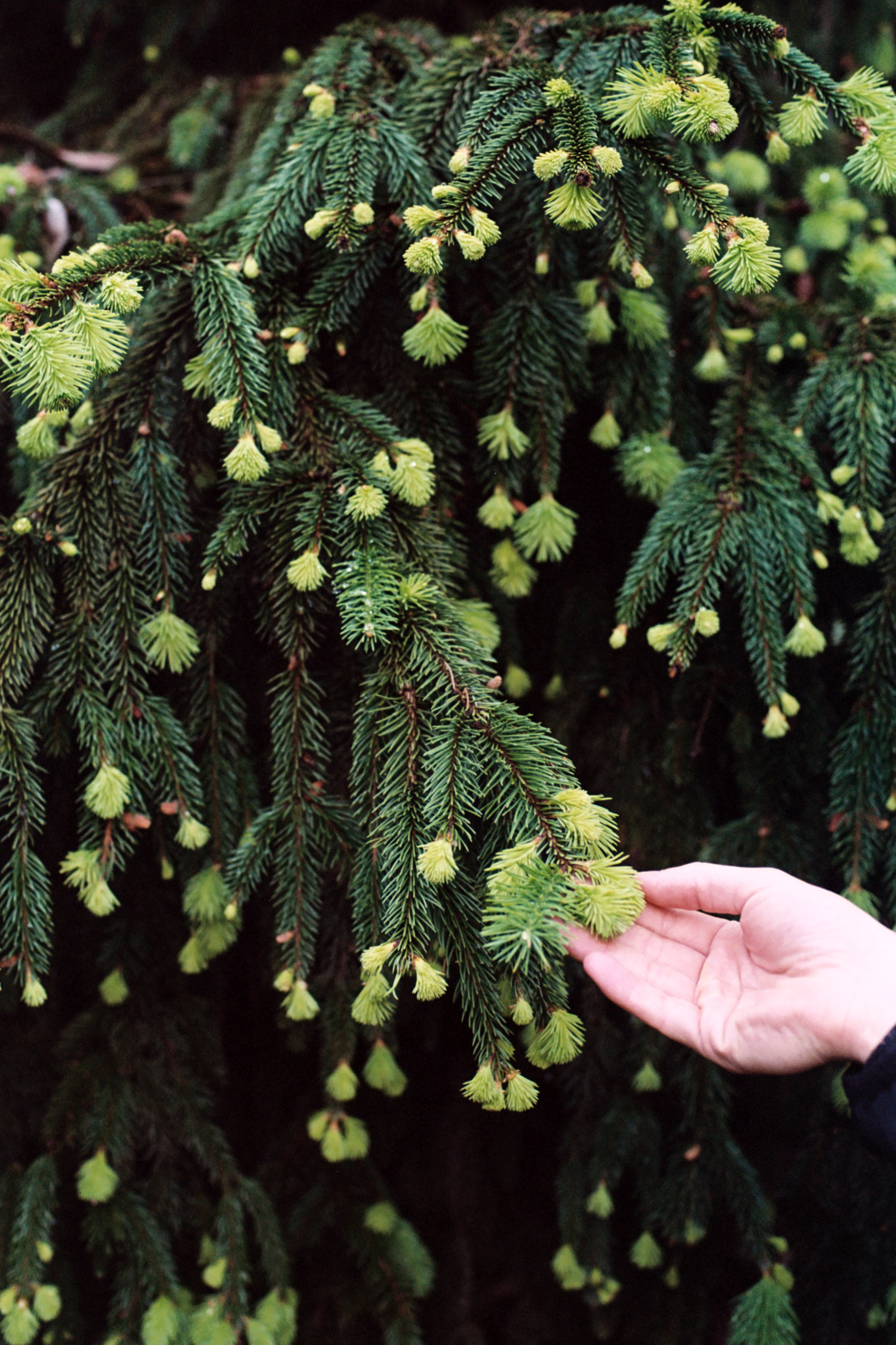 person holding green larch tree