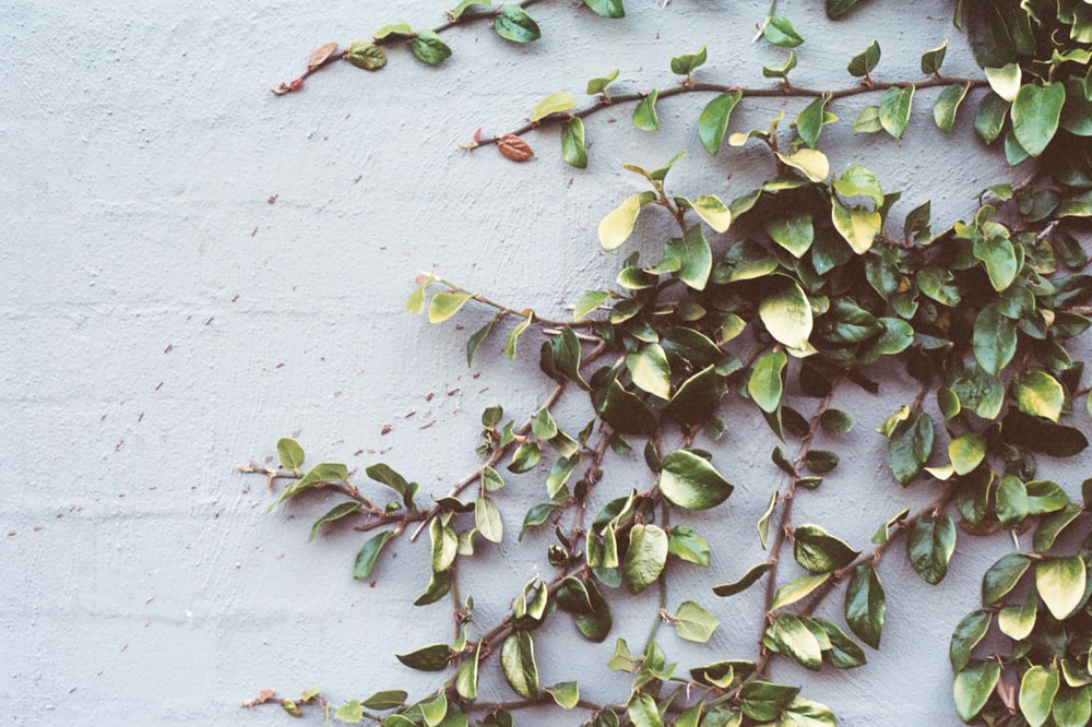 green leafed vines on wall