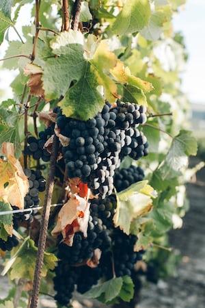 4633. Bor,szőlő, borászatok