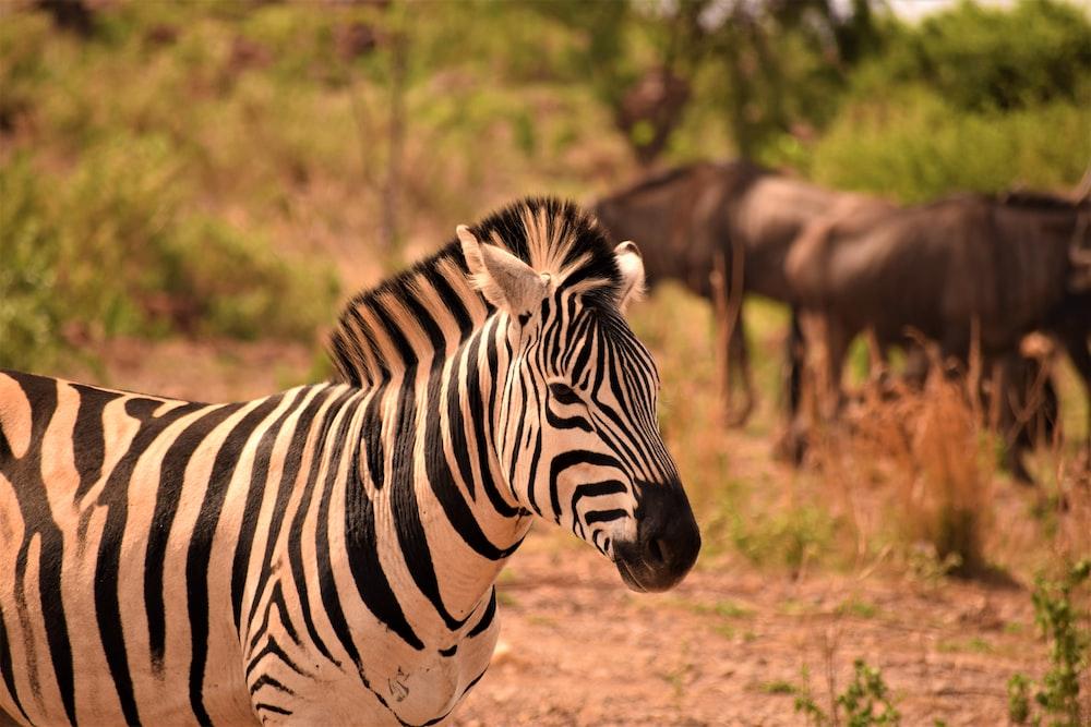 zebra standing on grass field at daytime