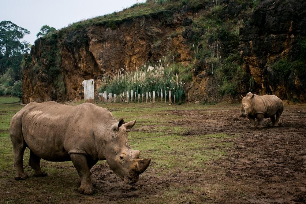 two brown rhinoceros walking on grass field