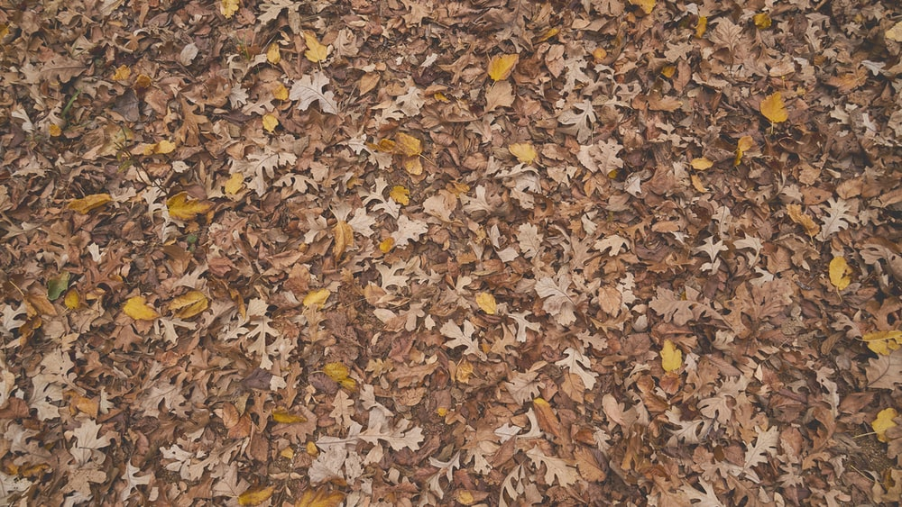 scattered maple leaves